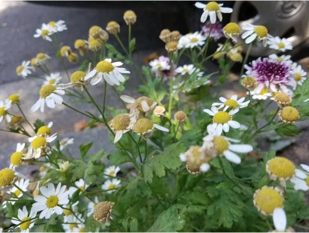 A photo of feverfew flowers and leaves with a couple pink clover flowers on the right side of the photo.