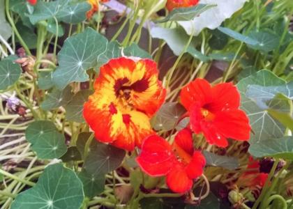 Close up of a patch of orange nasturtiums.