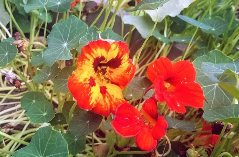 Close up of a patch of orange nasturtiums.
